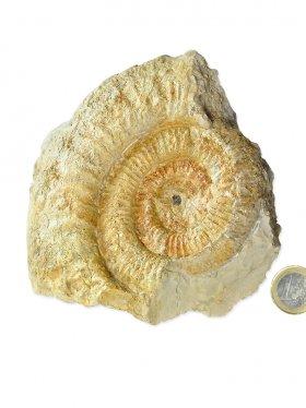 Ammonit aus der schwäbischen Alb, ca. 15/16 cm, Unikat