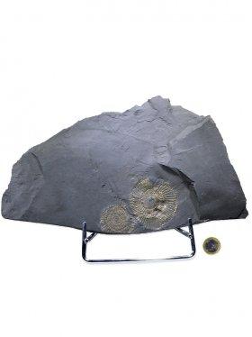 Ammonit aus dem schwäbischen Ölschiefer, Unikat