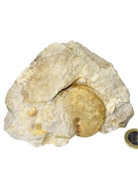 Ammonit aus der schwäbischen Alb, ca. 10/12 cm, Unikat