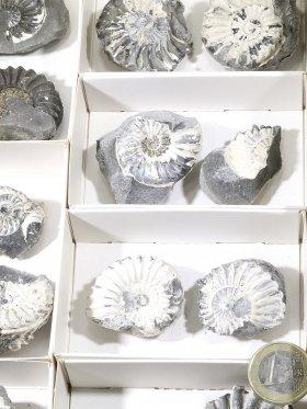 Ammonit, Box mit 20 Stück, Unikat